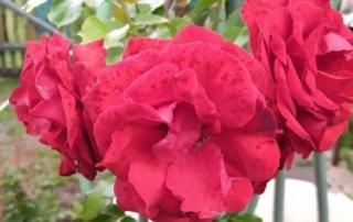 Чайно-гибридная роза ( красная)