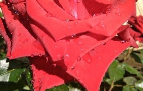 Чайно-гибридная роза ( бордо)
